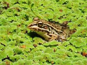 水甲虫被青蛙吃掉并排泄后可以继续生存