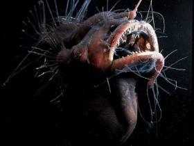 黑角安康鱼8个秘密