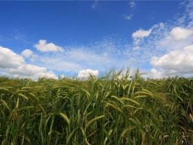 含藻类的转基因植物生长更多,所需水更少