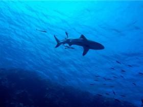 鲨鱼的数量在下降-世界上许多珊瑚礁在功能上已经灭绝