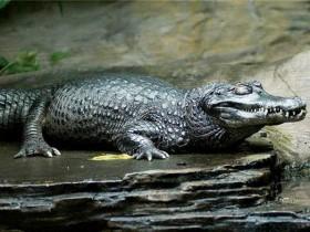 7种对人类有害的鳄鱼