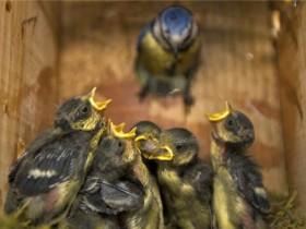 为什么鸟巢会吸引飞行的昆虫和寄生虫