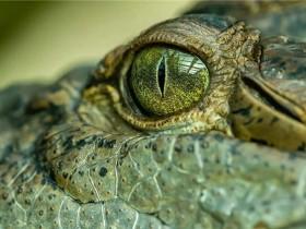 鳄鱼的眼泪与人类的眼泪非常相似