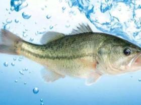 鲈鱼产于哪里