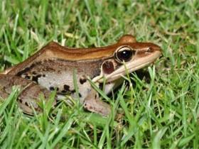 沼水蛙可以吃吗