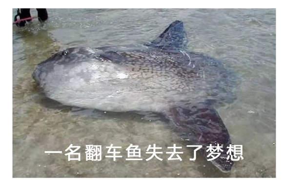 翻车鱼的死法太残忍了